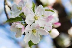 Blühender Apfel Lizenzfreie Stockbilder