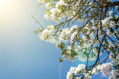 Blühender Apfel-Baumast im Frühjahr über blauem Himmel Stockfoto