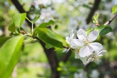 Blühender Apfel der Niederlassung Lizenzfreie Stockbilder