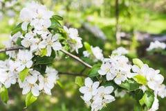 Blühender Apfel der Niederlassung Lizenzfreies Stockfoto