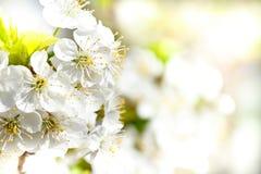 Blühender Apfel im Frühjahr mit flachem Fokus Stockfotografie