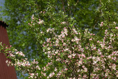 Blühender Apfel Weiße Blumen der Kirsche und der roten Tulpen Stockfotografie