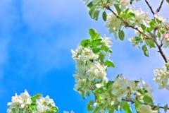 Blühender Apfel Weiße Blumen der Kirsche und der roten Tulpen Stockbild