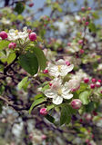 Blühender Apfelbaum Stockfoto
