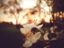 Blühender Apfelbaum Stockbilder