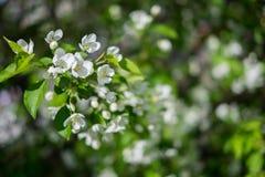 Blühender Apfelbaum Lizenzfreie Stockbilder