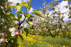 Blühender Apfelbaum Stockfotos