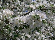 Blühender Apfelbaum Lizenzfreies Stockfoto