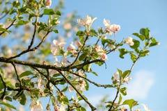 Blühender Apfelbaum Lizenzfreie Stockfotografie