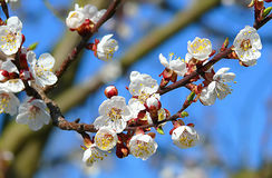 Blühender Apfelbaum Stockfotografie