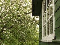 Blühender Apfelbaum Stockbild