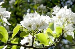 Blühender Apfelbaum Lizenzfreie Stockfotos