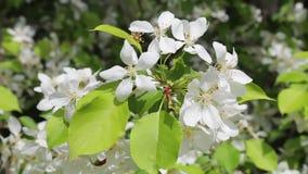 Blühender Apfelbaum auf dem blauen Himmel stock video