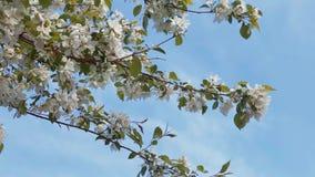 Blühender Apfelbaum auf dem blauen Himmel stock video footage
