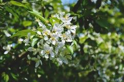 Blühender Apfelbaum auf einem Hintergrund lizenzfreie stockfotografie