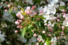 Blühender Apfelbaum Ausgebreitete rosa Knospen und weiße Blumen Stockfoto