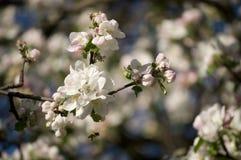 Blühender Apfelbaum des schönen Frühlinges Stockbilder