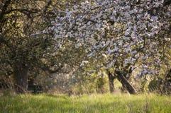 Blühender Apfelbaum des schönen Frühlinges Lizenzfreies Stockbild