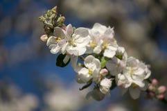 Blühender Apfelbaum des schönen Frühlinges Stockfotos