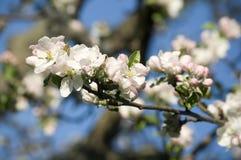 Blühender Apfelbaum des schönen Frühlinges Stockbild