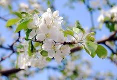 Blühender Apfelbaum an einem sonnigen Tag. stockfoto