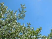Blühender Apfelbaum gegen blauen Himmel lizenzfreie stockfotografie