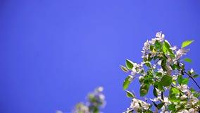 Blühender Apfelbaum gegen den klaren blauen Himmel stock video footage