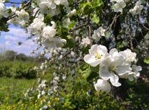 Blühender Apfelbaum im Frühjahr Lizenzfreie Stockbilder