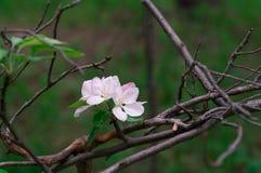 Blühender Apfelbaum im Frühjahr an einem sonnigen Tag Stockfotografie