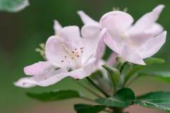 Blühender Apfelbaum im Frühjahr an einem sonnigen Tag Stockbilder