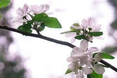Blühender Apfelbaum im Frühjahr an einem sonnigen Tag Lizenzfreies Stockbild