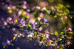 Blühender Apfelbaum nach Regen lizenzfreie stockbilder