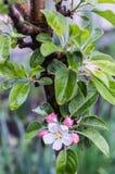 Blühender Apfelbaum nach Regen Lizenzfreies Stockfoto