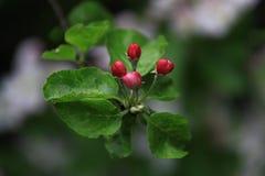 Blühender Apfelbaum, rote Knospen auf einem grünen Hintergrund Stockfoto