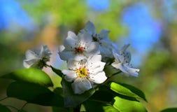 Blühender Apfelbaum Schöne Blumen Stockbild