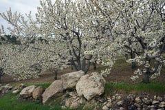 Blühender Apfelbaum und Steine Stockfotografie