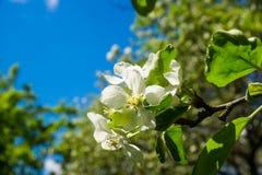 Blühender Apfelbaum unter dem blauen Himmel Lizenzfreie Stockfotos