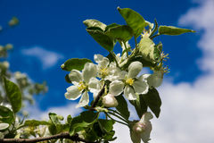 Blühender Apfelbaum unter dem blauen Himmel Lizenzfreie Stockfotografie