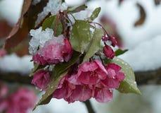 Blühender Apfelbaum unter dem Schnee Lizenzfreies Stockfoto