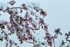 Blühender Apfelbaum unter dem Schnee Stockbild