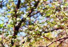 Blühender Apfelbaum Viele Niederlassungen mit Blumen Stockfotografie