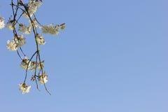 Blühender Apfelbaum vor blauem Himmel Stockfotografie