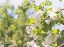 Blühender Apfelbaum, weiße Blumen lizenzfreies stockbild