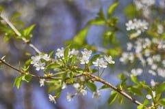 Blühender Apfelbaum, weiße Blumen auf grünen Niederlassungen auf einem Blau Stockfotos