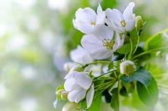 Blühender Apfelbaumast Stockfoto