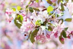 Blühender Apfelbaumast der Makroansicht im Frühjahrgarten Schöne rosa Blumenblätter blüht auf weich Angebot unscharfem bokeh Stockfotografie