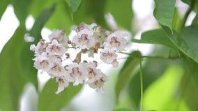 Blühender Apfelbaumast mit Blendenfleck Schöne Frühlingsnaturszene mit blühendem Apfelbaum am sonnigen Tag Flacher DOF stock footage