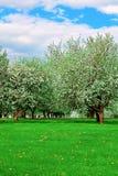 Blühender Apfelbaumgarten Lizenzfreie Stockfotos
