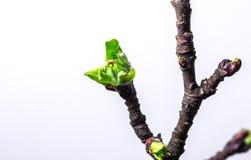 Blühender Apfelbaumzweig Stockfoto
