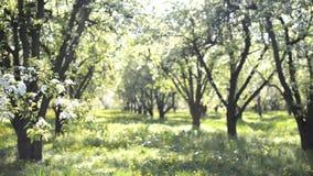 Blühender Apfelgarten des schönen Frühlinges stock video footage